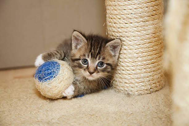 cute tabby kitten - sisal stock pictures, royalty-free photos & images