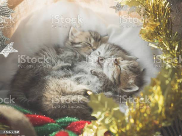 Cute tabby kittens sleeping and hugging in a basket on christmas day picture id929477398?b=1&k=6&m=929477398&s=612x612&h=of fx3vxpbmi6uhqkqgqrgil3gxlwmfaxy3ydttosys=
