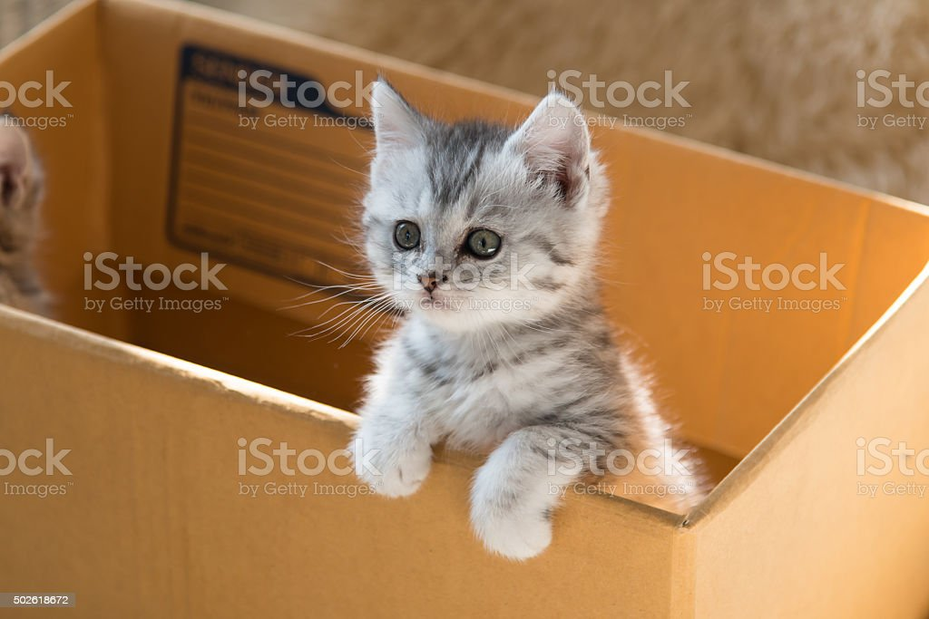 Cute Tabby Persian Kitten Stock Photo - Download Image Now