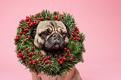 Cute studio portrait of a tan coloured, grumpy Pug wearing a Christmas wreath around his neck. Photographed against a pink background, horizontal  format with some copy space.