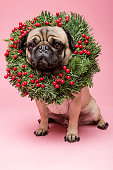 Cute portrait of a tan coloured, grumpy Pug wearing a Christmas wreath around his neck. Photographed against a bright pink background, vertical format with some copy space.
