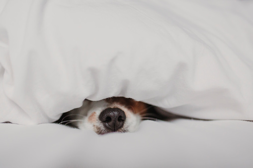 cute tender white and brown jack russell sleeping on a bed under a white cover. Winter and relax concept
