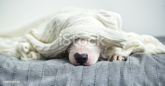 A cute tender white English bull terrier is sleeping on a bed under a white knitted blanket. Winter Is Coming