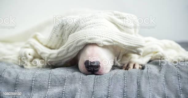 Cute tender white english bull terrier is sleeping on a bed under a picture id1050255132?b=1&k=6&m=1050255132&s=612x612&h=m31ylmhgmxzlrlqw8zuwhkhojbfzcfrne 0flelyon0=