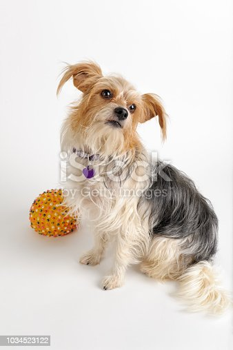 Cute small dog with long hair looking up, mixed breed terrier with her ball, studio shot white background with copy space.
