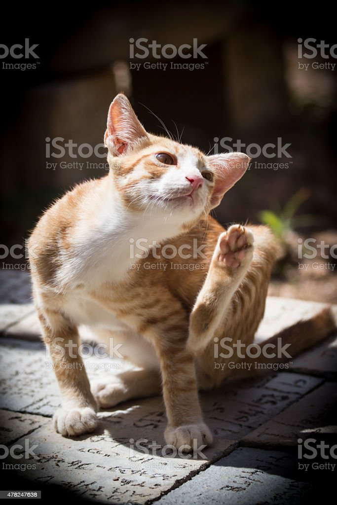 Thai Cat Is Photo amp; Cement Cute Stock More On Brock Pictures Sitting dOAnwZ