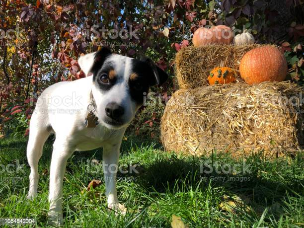 Cute thanskgiving and halloween dog in garden with outdoor pumpkin picture id1054842004?b=1&k=6&m=1054842004&s=612x612&h=rw7xf7me4x3n5404psvubvyi5oe3coroqwzojj0qhks=