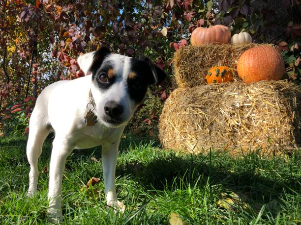 Cute thanskgiving and Halloween dog in garden with outdoor pumpkin decorations on hay stack stock photo