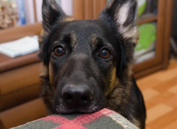 niedliche nachdenklich schäferhund wartet auf einen spaziergang mit seinem kopf auf dem sofa - starren stock-fotos und bilder