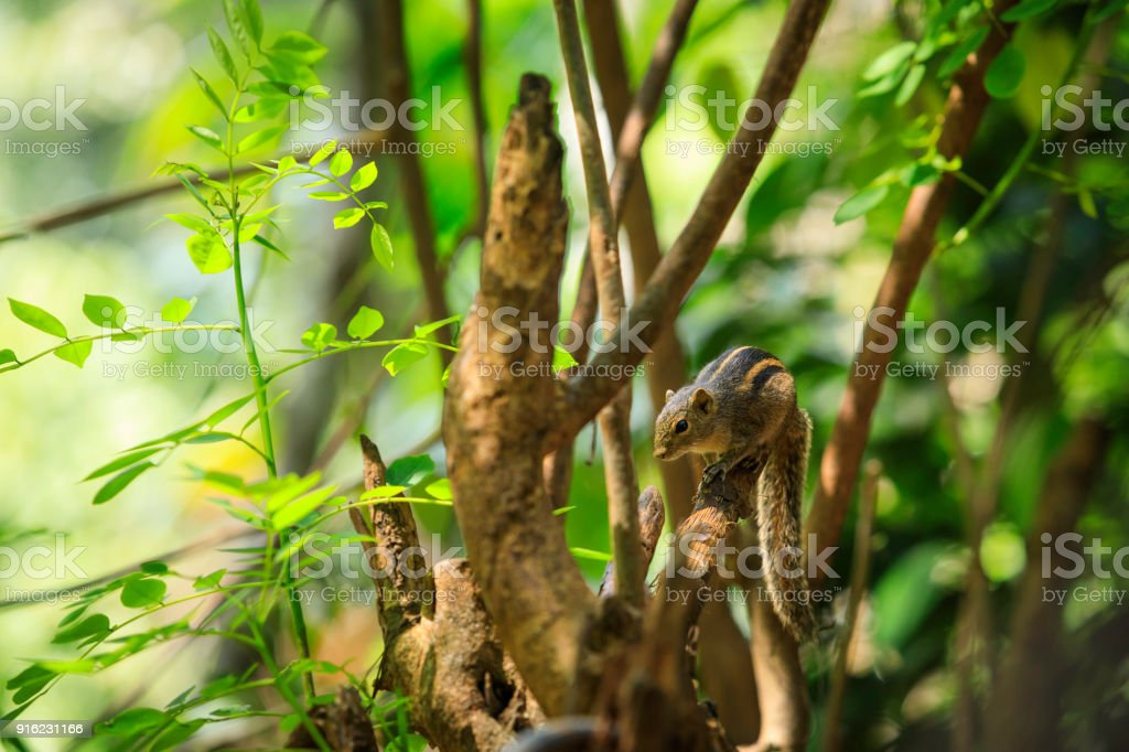 cute three striped palm squirrel on a tree stock photo
