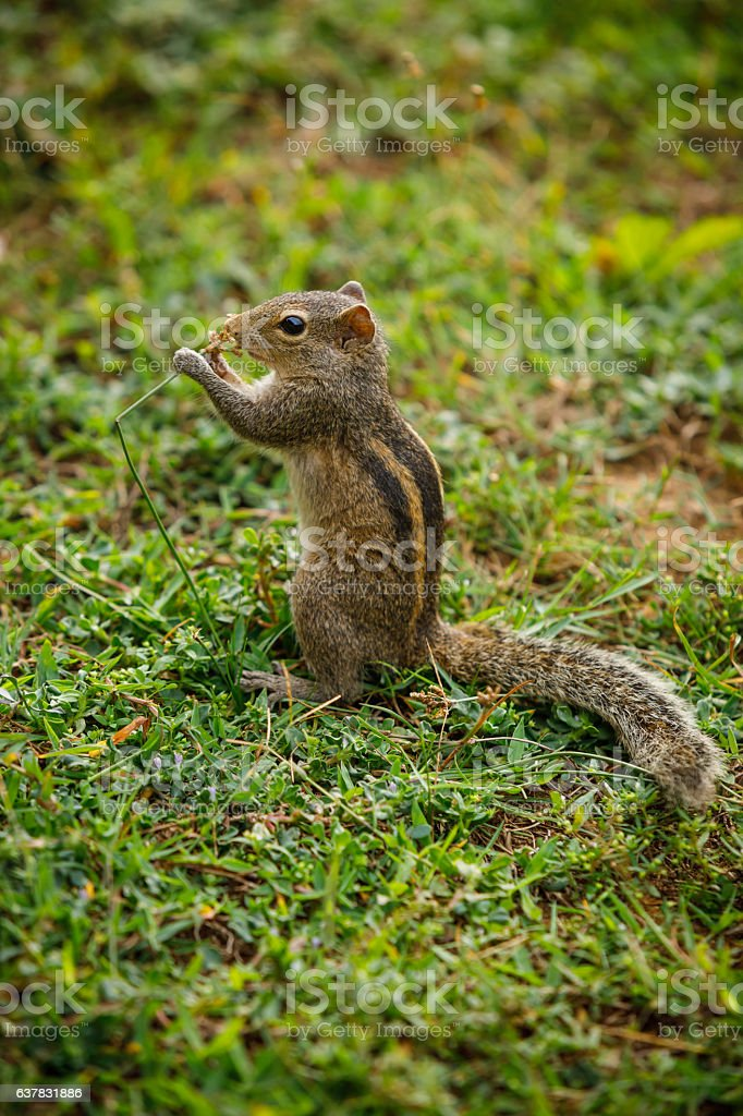 cute three striped palm squirrel stock photo