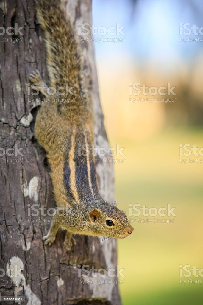 cute three striped squirrel on a palm tree stock photo