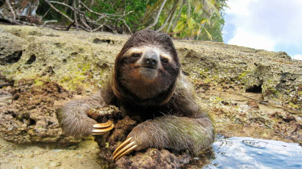Cute three-toed sloth on ground of tropical shore Cute three-toed sloth on the ground of tropical shore in the national park of Cahuita, Costa Rica, Central America limoen stock pictures, royalty-free photos & images