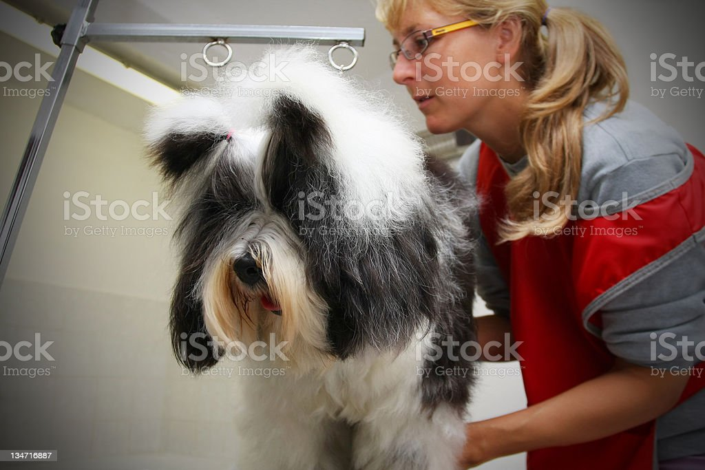 Cute Tibetan Terrier at the groomer royalty-free stock photo