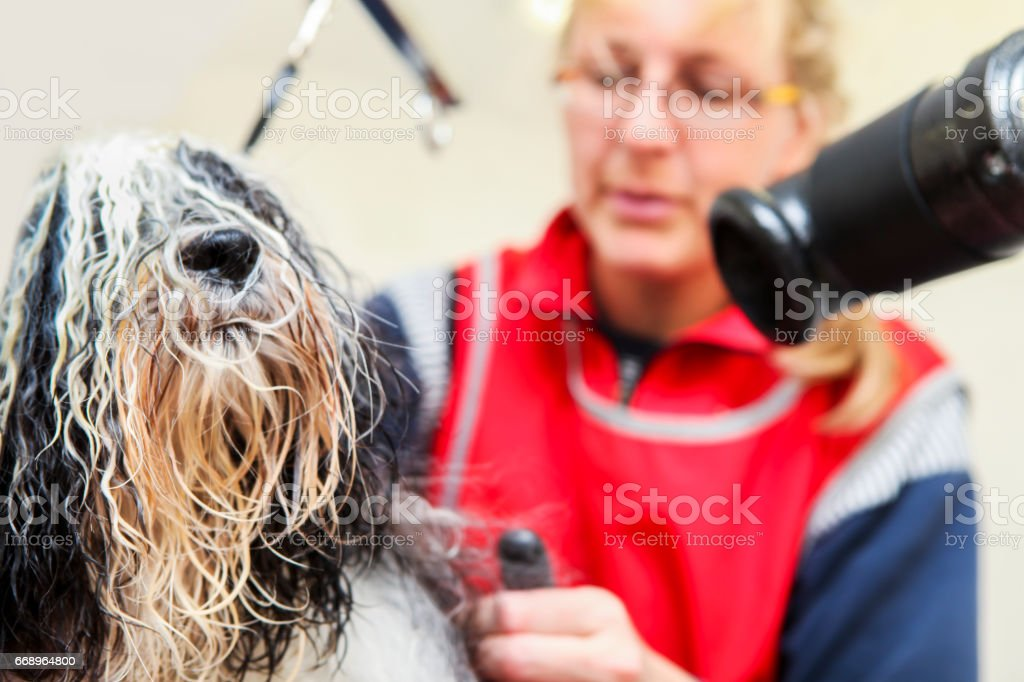 Cute Tibetan Terrier at the groomer stock photo