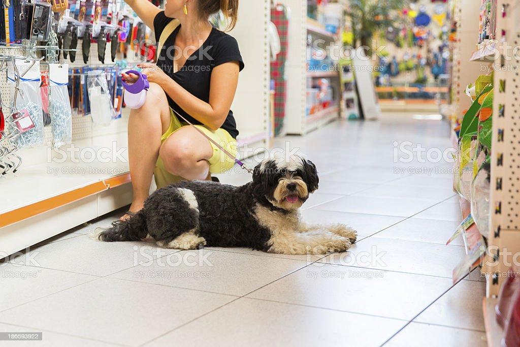 Cute Tibetan Terrier in pet store,owner buying new leash royalty-free stock photo