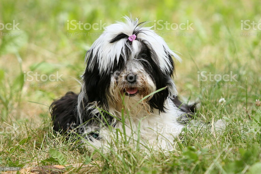 Cute Tibetan terrier resting on a grass royalty-free stock photo