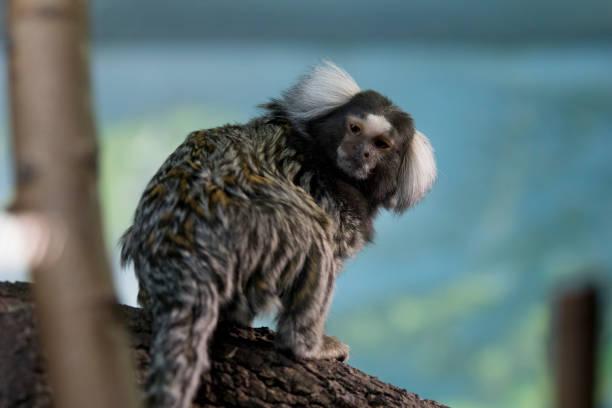 Cute tiny common marmoset Cute tiny common marmoset common marmoset stock pictures, royalty-free photos & images