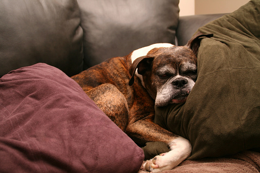 A dog sleeping on the couch.