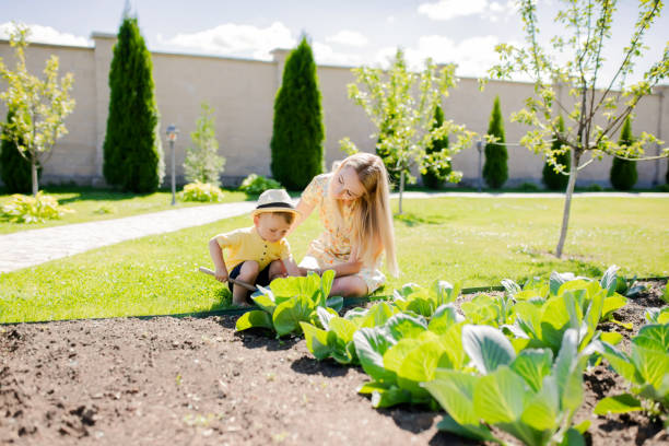 Cute toddler boy working in the garden with his mother, harvest of cabbage stock photo