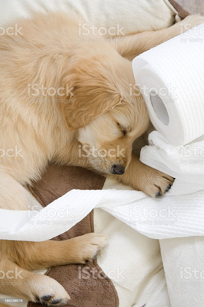 Cute Toilet Roll Puppy stock photo