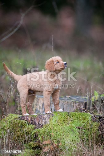 Cute, little orange puppy. Purebred dog Nova Scotia Duck Tolling Retriever (Little River Duck Dog) standing on trunk.