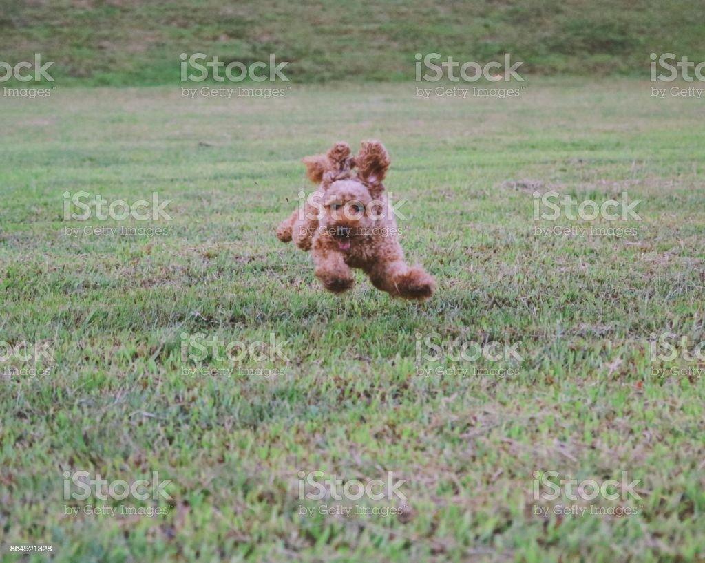 Cute toy poodle portraits stock photo
