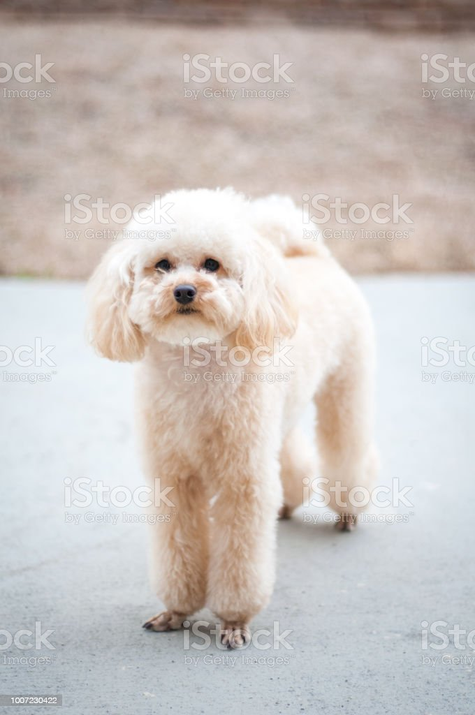 Cute Toy Poodle Puppy Stock Photo Download Image Now Istock