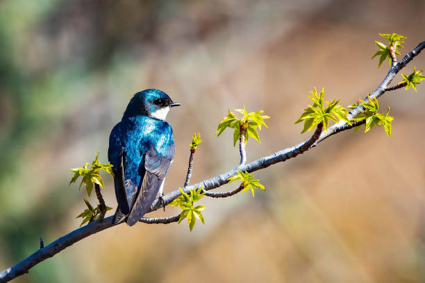 Cute tree swallow bird close up portrait in spring stock photo
