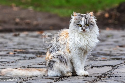 A cute tricolor cat sits on a track and looks at the photographer. Domestic cat outdoors. Close-up.