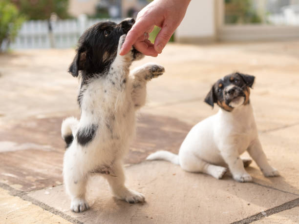 cute tricolor jack russell terrier puppies playing with her owner. 7,5  weeks old young doggies - allevatore foto e immagini stock