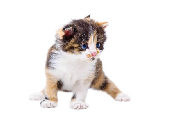 Cute tricolor kitten picture id1180215245?b=1&k=6&m=1180215245&s=612x612&w=0&h=gzrarv0yqvc4 1p5wmtspcaqxdj4dt 75aoftephtkw=