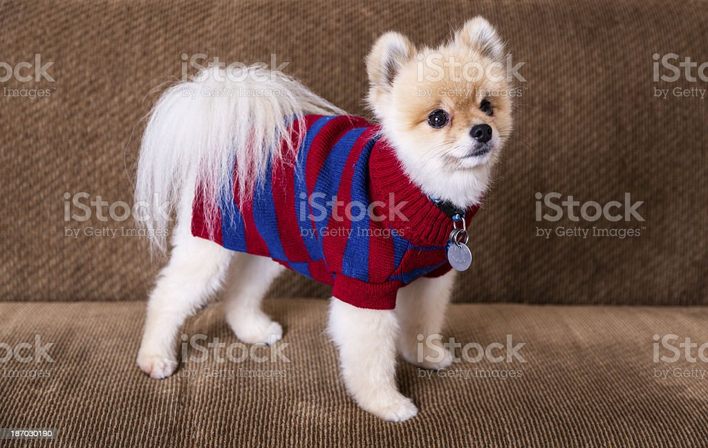 Cute trimmed Pomeranian dog with sweater royalty-free stock photo