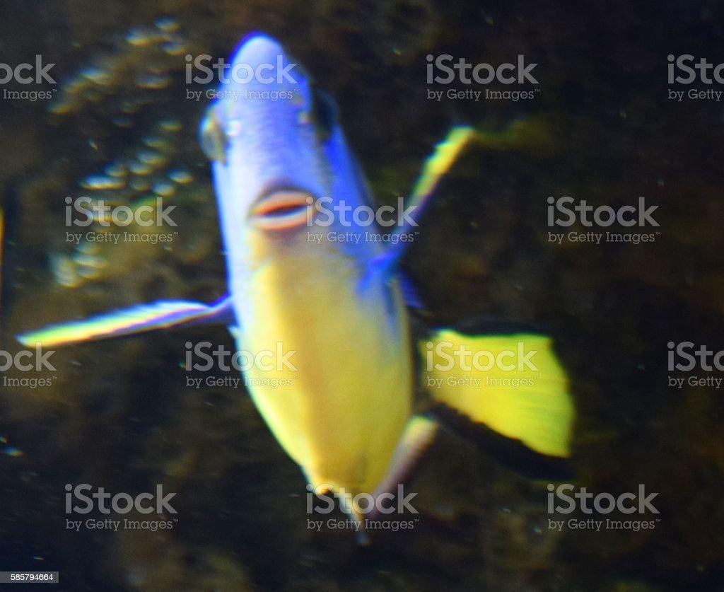 cute tropical blue regal tangfish in fish tank funny lips stock photo