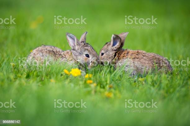Cute two little hare sitting in the grass picturesque habitat life in picture id956886142?b=1&k=6&m=956886142&s=612x612&h=7b8xnkjiqjlmzzppfbujfqewjl4iq9sxgjlx7 ejnbs=