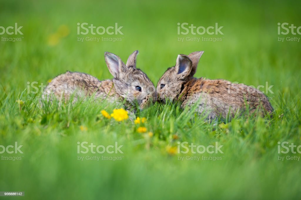 Cute two little hare sitting in the grass. Picturesque habitat, life in the meadow стоковое фото