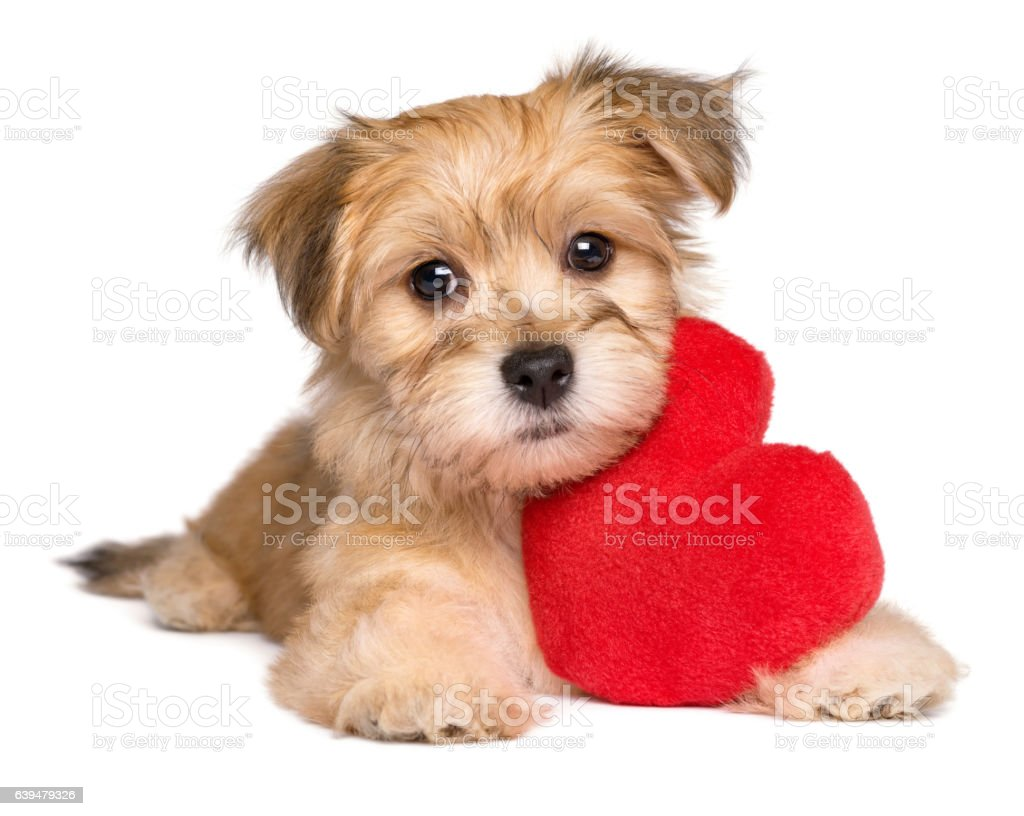 Cute Valentine Havanese puppy lying with a red heart stock photo