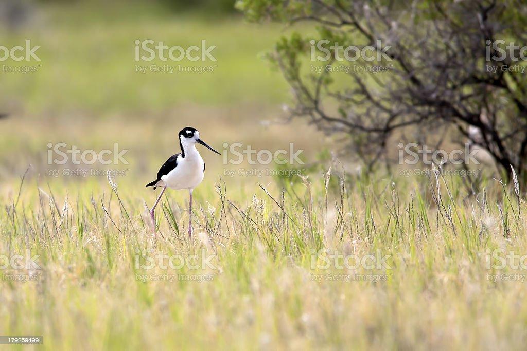 Cute wading bird. royalty-free stock photo