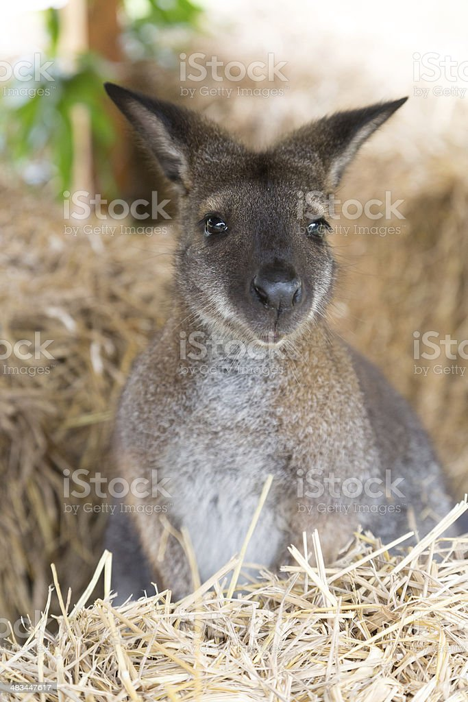 Cute wallaby royalty-free stock photo