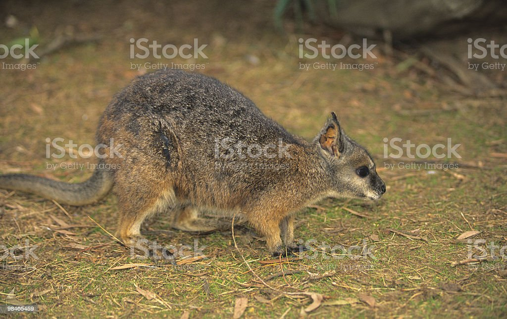 Cute Wallaby royalty-free stock photo