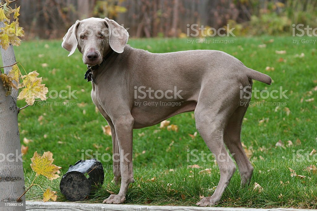 Cute Weimaraner Dog royalty-free stock photo