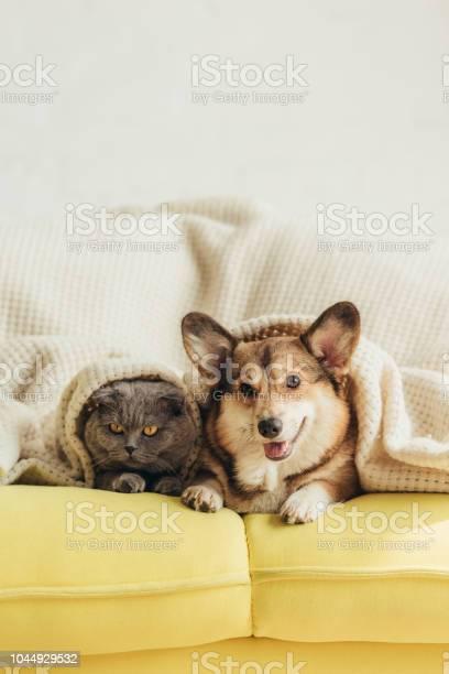 Cute welsh corgi dog and cat lying under blanket on sofa picture id1044929532?b=1&k=6&m=1044929532&s=612x612&h=4xz7udgb1vatygm fyvvk c2c39gmcx x3vnxcwjvoa=