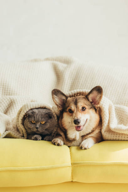 Cute welsh corgi dog and cat lying under blanket on sofa picture id1044929532?b=1&k=6&m=1044929532&s=612x612&w=0&h=mpk0tppzil6m5ywndpg5zqbhezmw0bbxt6zvggpcfpc=