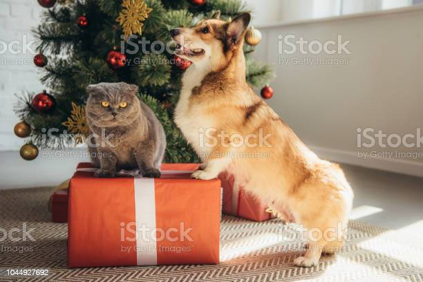 Cute welsh corgi dog and scottish fold cat on gift box near christmas picture id1044927692?b=1&k=6&m=1044927692&s=612x612&h=ske5r0dpef65tbqk4mqrwzvpmlbs4xpqh7n1puczfcs=