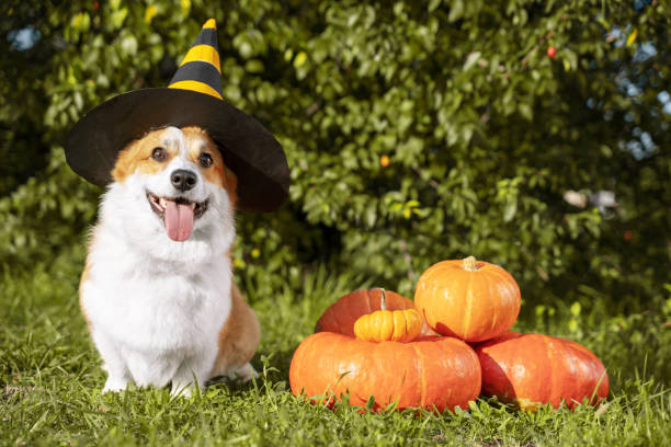 Cute Welsh Corgi dog dressed in a festive halloween black and yellow witch hat, sitting next pile of different sized orange pumpkins on green grass on a background of trees Cute Welsh Corgi dog dressed in a festive halloween black and yellow witch hat, sitting next pile of different sized orange pumpkins on green grass on a background of trees welsh culture stock pictures, royalty-free photos & images