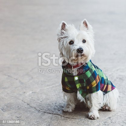 Cute west terrier posing