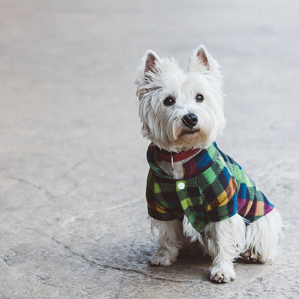 Cute west terrier Cute west terrier posing coat garment stock pictures, royalty-free photos & images