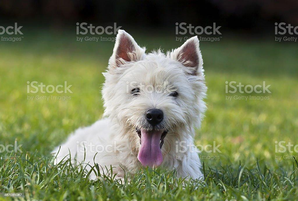 Cute westie puppy stock photo