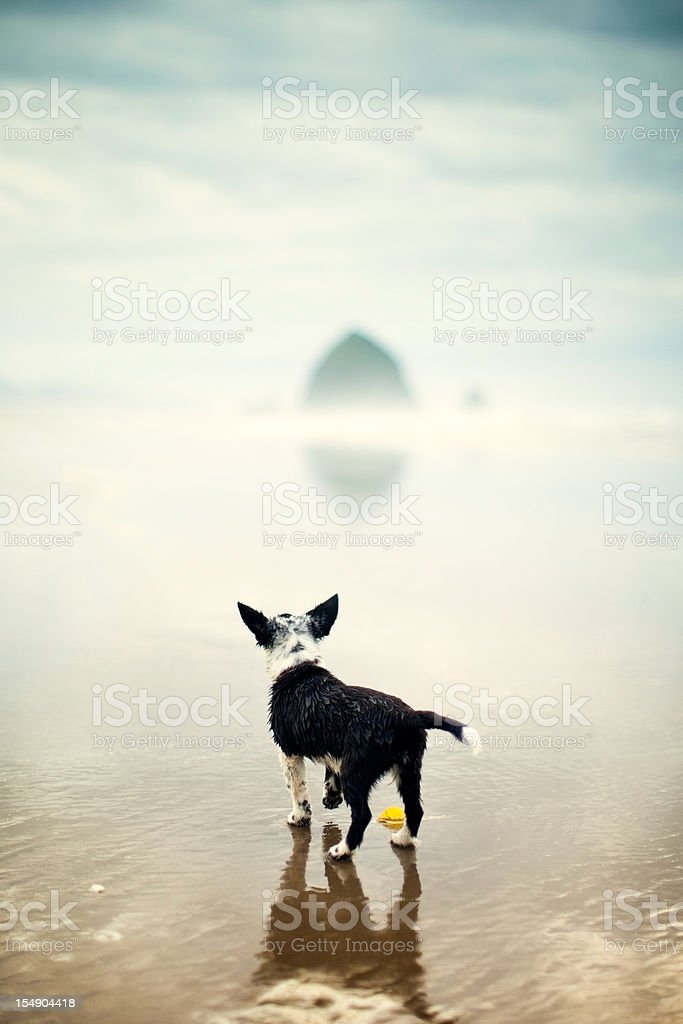 Cute Wet Puppy Dog At Cannon Beach royalty-free stock photo