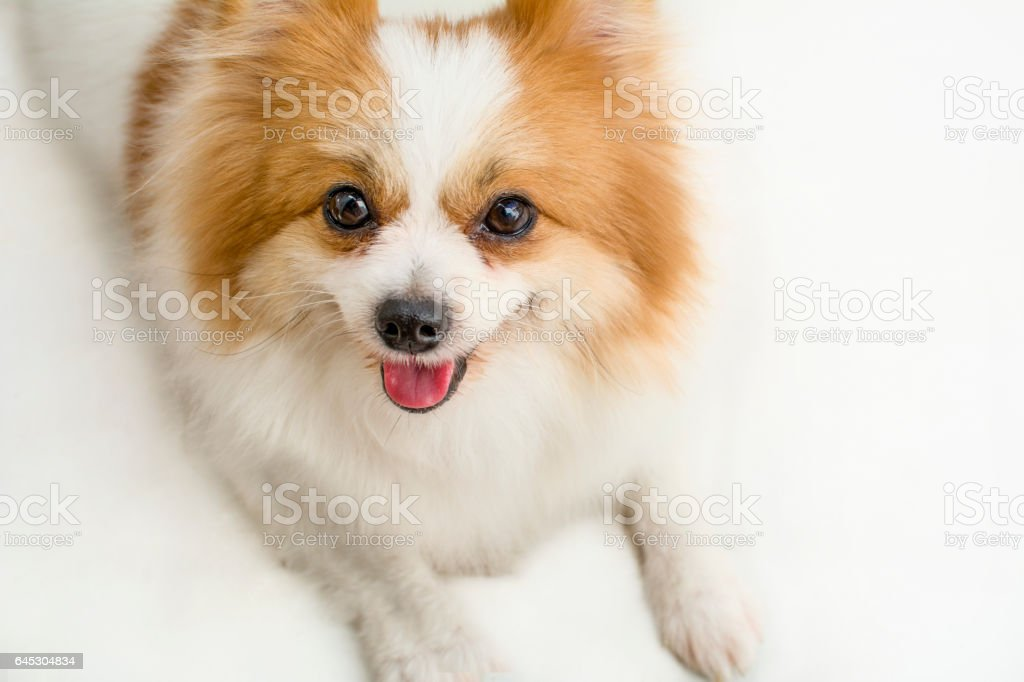 Cute White And Brown Color Pomeranian Dog Stock Photo More